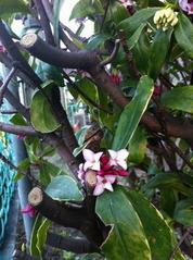 咲き始めた沈丁花1