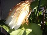 翌朝下を向いていた月下美人の花1