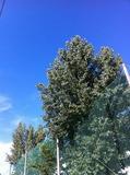 倒れる以前のポプラの並木