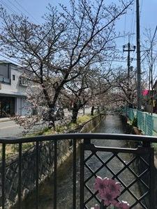 玉串川沿いのソメイヨシノ0404-7