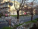 2009年3月31日夕方 福万寺町付近の玉串川沿いの桜並木 その2