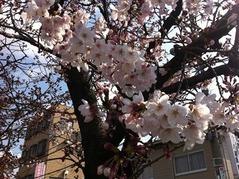 20160328八尾の教会前の桜