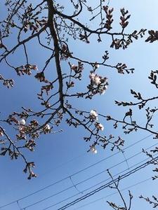 八尾市で咲き出したソメイヨシノ桜