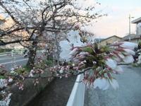 2013年3月25日玉串川の桜