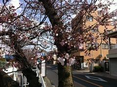 20160328美好バス停付近の桜