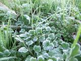 初霜が降りた葉っぱ2012年12月3日