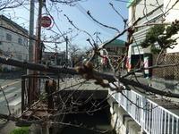 2013年3月15日の玉串川の桜2