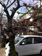 20160328JA付近の桜