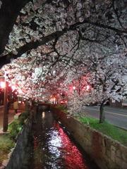 夜桜2013-7