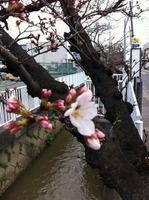 2013年3月21の桜2