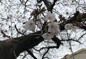 開花し始めたソメイヨシノ桜0331
