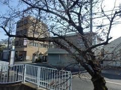 福万寺口停留所横のソメイヨシノ1
