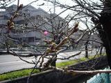 咲くまでにはまだもう少しのソメイヨシノのつぼみ