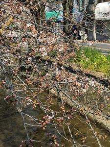 玉串川沿いのソメイヨシノ0404-5