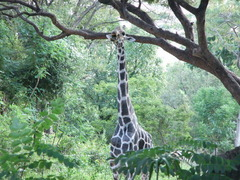 在りし日のキリンのケニア