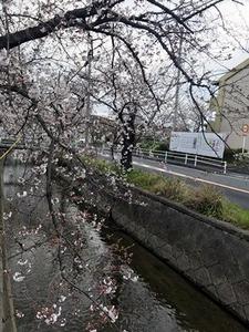 4分咲きになってきた玉串川沿いのソメイヨシノ桜2019年