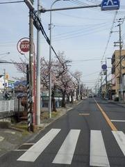 20160331福万寺から北に続く桜並木
