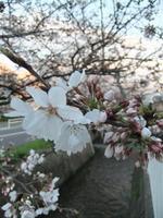 2013年3月25日の桜写真2