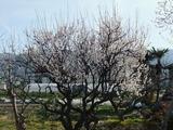 白梅の古木