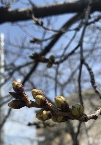 花芽の先端が緑色になってきたソメイヨシノ桜