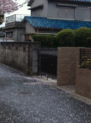 風雨で花びらが落ちた道路