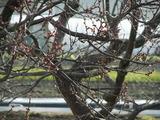 つぼみが膨らみ始めた梅の古木