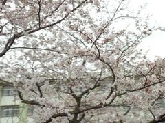 2016年4月1日みどり清朋高校の桜