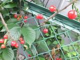 植木鉢で実ったサクランボ達