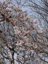 枝垂桜3/26