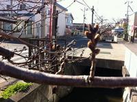 2013年3月12日の玉串川桜1