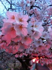 玉串川沿いの桜