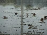 田で啄ばむカルガモの群れ1