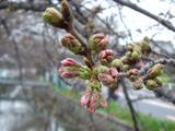 色づいてきた桜のつぼみ