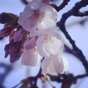咲き始めた玉串川沿いのソメイヨシノ2019年--2