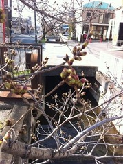JA傍の桜の木のつぼみ