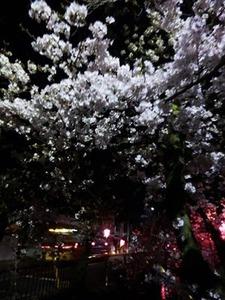 過去に撮った玉串川沿いの桜並木の夜桜2