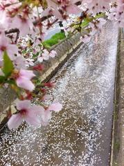 風雨で玉串川に花筏