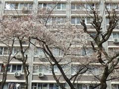 20160327森之宮UR団地内の桜1