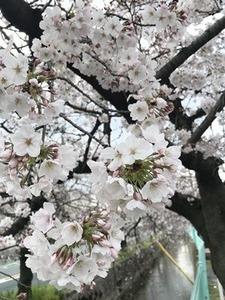 開花が進むソメイヨシノの花2019年