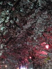 夜桜2013-6
