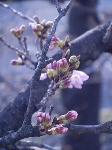 咲き始めた玉串川沿いのソメイヨシノ2019年-5