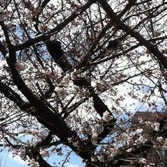 20160326高安駅付近の桜