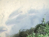 恩智川を泳ぐ鯉の群れ