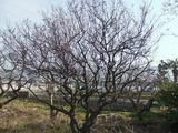 工場近くの梅の古木