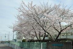 みどり清朋高校西門の桜20160405