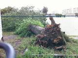強風で倒れてしまったポプラの大木
