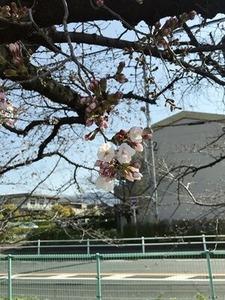 玉串川沿いのソメイヨシノ桜の開花
