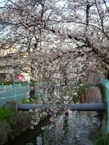 2009年3月31日 玉串川沿いのソメイヨシノ桜の様子