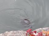 池を泳ぐ亀