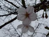 ソメイヨシノの花UP
